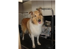 Picture of Beautiful Female Collie (Lassie)