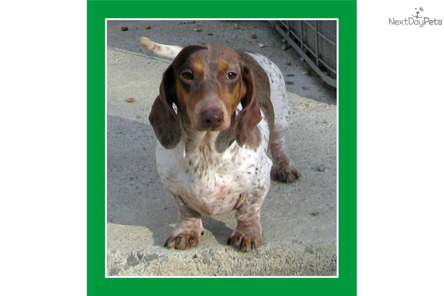 Dachshund housetraining adult dogs