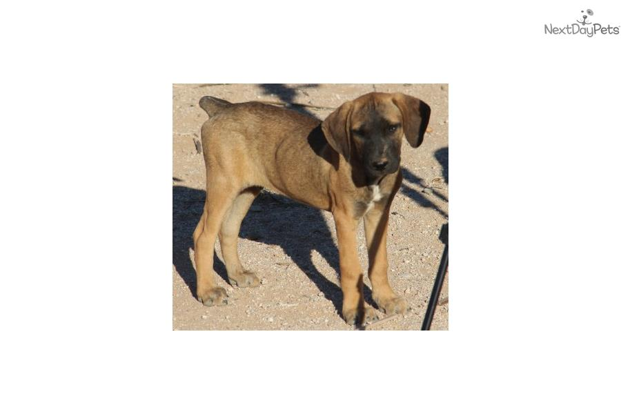 Picture of an American Bandogge Mastiff