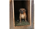 American Bandogge Mastiffs for sale