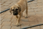 Kyron | Puppy at 16 weeks of age for sale
