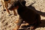 Picture of Red Dobie F