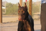 Picture of Red Dobie F sprn