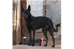 Dutch Shepherd | Puppy at Available soon of age for sale