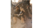 Picture of Malinois Mix M