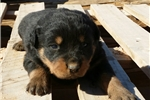Picture of F2 Rott Derb