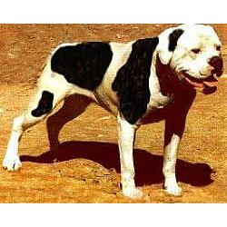 Picture of an American Bulldog