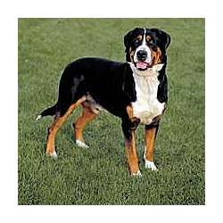 Picture of an Appenzell Mountain Dog