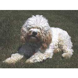 Picture of a Cockapoo