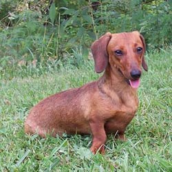 Picture of a Smooth Dachshund