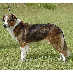 Picture of an English Shepherd
