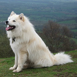 Picture of a Finnish Lapphund