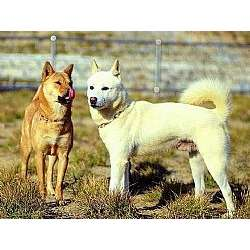 Picture of a Jindo