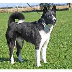 Picture of a Karelian Bear Dog