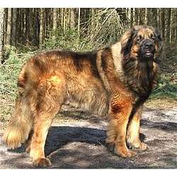 Picture of a Leonberger