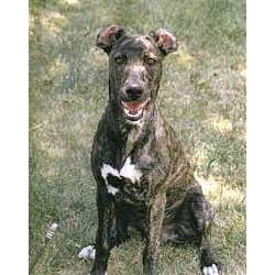 Picture of a Mountain Cur