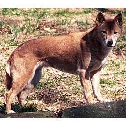 Picture of a New Guinea Singing Dog
