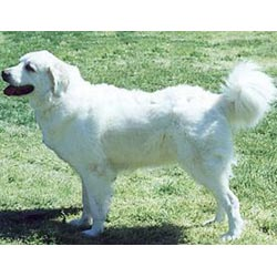 Picture of a Polish Tatra Sheepdog