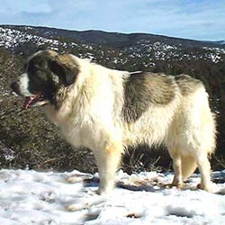 Picture of a Pyrenean Mastiff