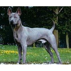 Picture of a Thai Ridgeback