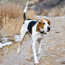 Picture of a Treeing Walker Coonhound