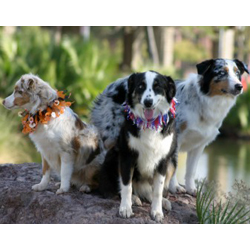 Picture of a Miniature Australian Shepherd