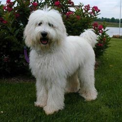 Picture of a Labradoodle