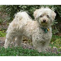 Picture of a Malti Poo - Maltipoo