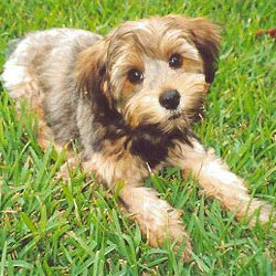 Picture of a Yorkiepoo - Yorkie Poo