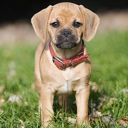 Picture of a Puggle