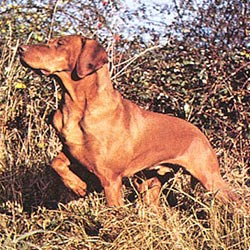 Picture of a Portuguese Pointer
