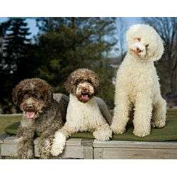 Picture of a Lagotto Romagnolo