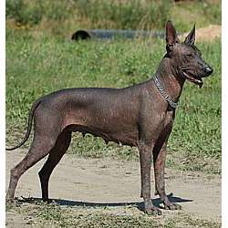 Picture of a Mexican Hairless Dog