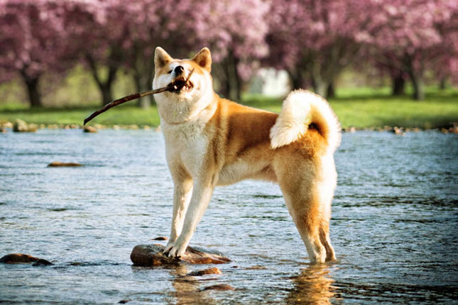 Breed Standard Picture for Akitas
