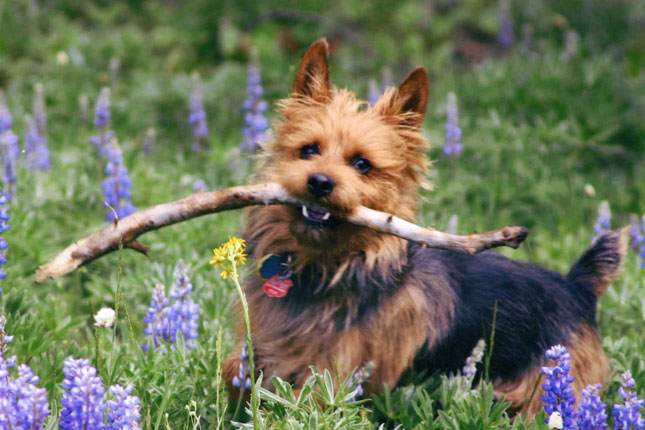 Breed Standard Picture for Australian Terriers