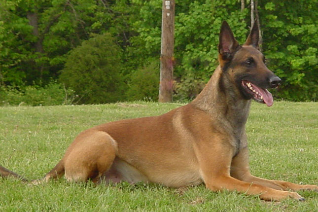 Picture of a Belgian Shepherd Malinois