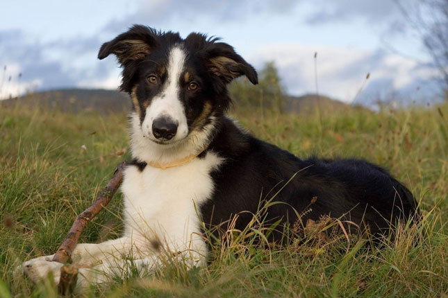 Breed Standard Picture for Border Collies