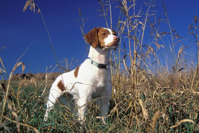 Picture of a Brittany Spaniel