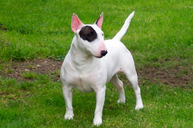 Breed Standard Picture for Bull Terriers