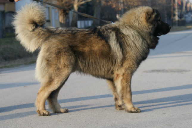 Picture of a Caucasian Mountain Dog