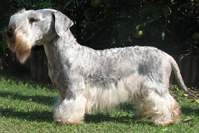 Picture of a Cesky Terrier