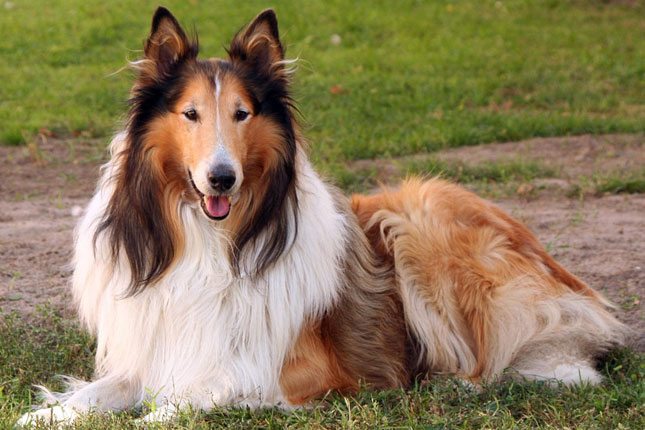 Picture of a Collie