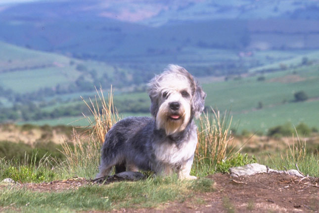 Breed Standard Picture for Dandie Dinmont Terriers