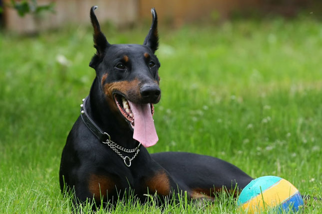 Picture of a Doberman Pinscher