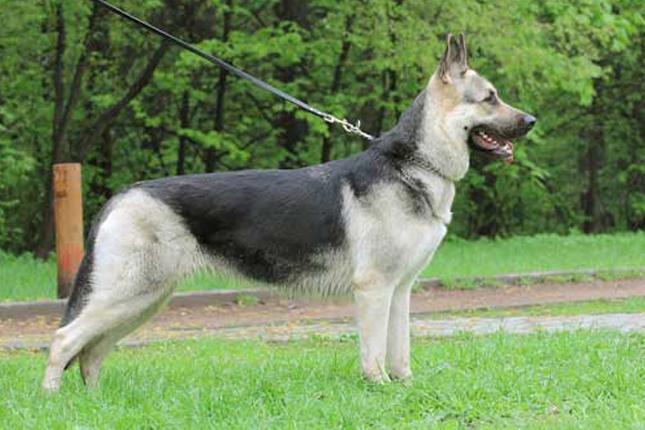 Picture of an East European Shepherd