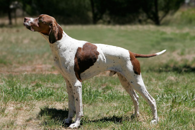 Picture of an English Pointer