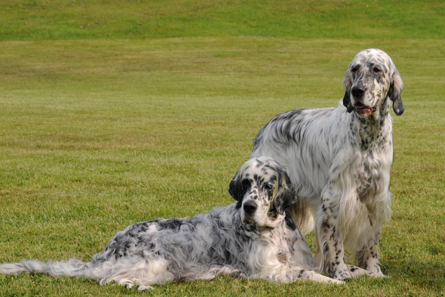 Breed Standard Picture for English Setters