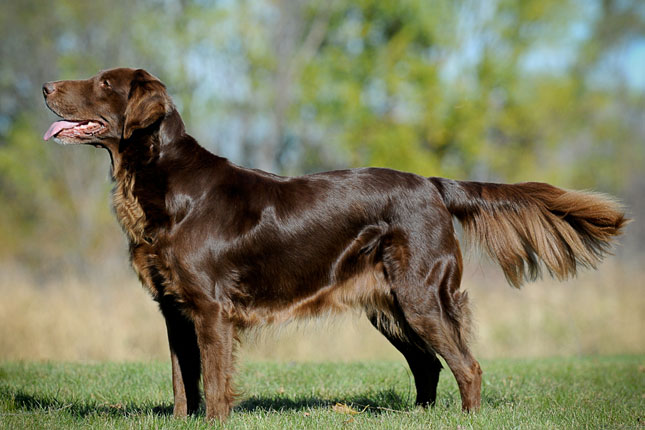 Picture of a Flat Coated Retriever