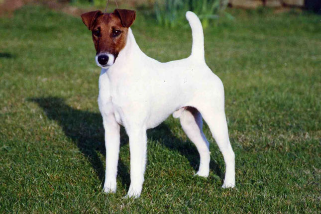 Picture of a Smooth Fox Terrier