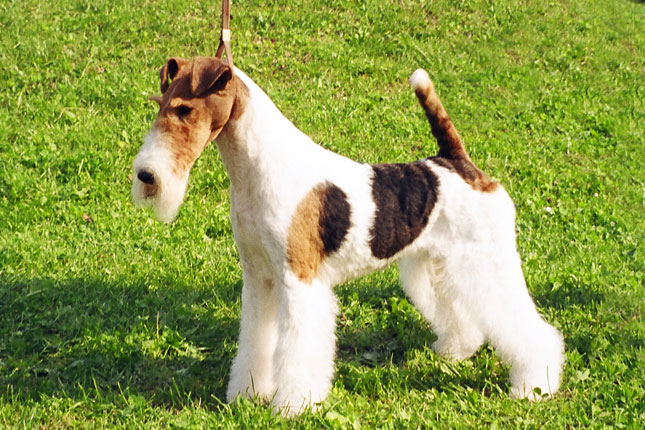 Picture of a Wire Fox Terrier